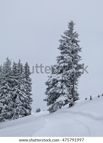 Firs after new snowfall, Switzerland
