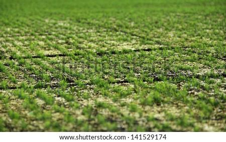 firs plantations - stock photo