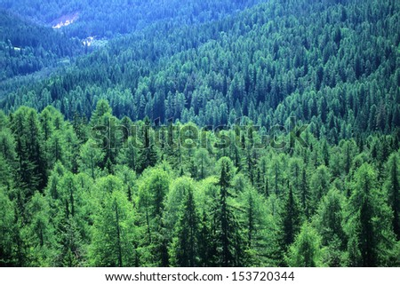 firs tall trees forests and woodlands - stock photo