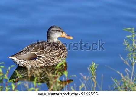 First Arriving Spring Ducks - stock photo