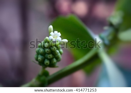 First blooming noni flower. Noni (Morinda citrifolia) also known as great morinda, Indian mulberry, noni, beach mulberry, and cheese fruit. Extends through Southeast Asia, Australia, and the polynesia