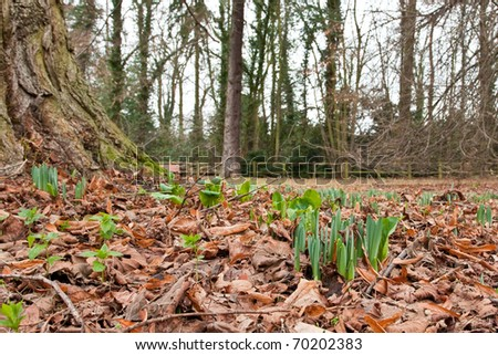 First daffodil shoots of early spring in England
