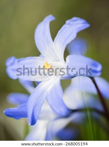 First flowers of spring the blue Scilla siberica in extreme closeup showing the pistills - stock photo