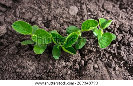 First goodness leaves of soybean growing from the ground  - stock photo