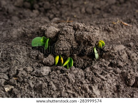 First leaves of soybean spring from the ground  - stock photo