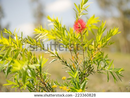 First spring bloom of the red Australian wildflower, Callistemon Captain Cook, a small shrub commonly called bottlebrush  - stock photo