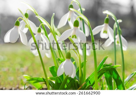 First spring flowers backlit snowdrops on sunshine Alpine glade. Stock photo with shallow DOF and soft blurred desaturated background. - stock photo