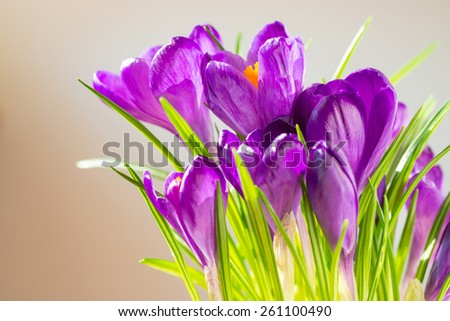 First spring flowers - bouquet of purple crocuses over soft focus background with copyspace - stock photo