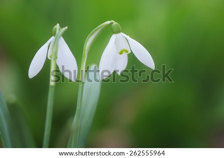 First spring flowers on a background of green grass. Two white snowdrops in the forest - stock photo