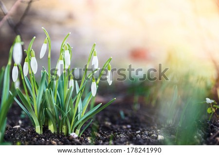 first spring flowers, snowdrops in garden, sunlight  - stock photo