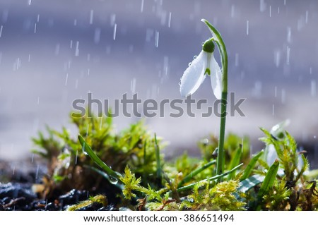 First spring flowers snowdrops with rain drops - stock photo