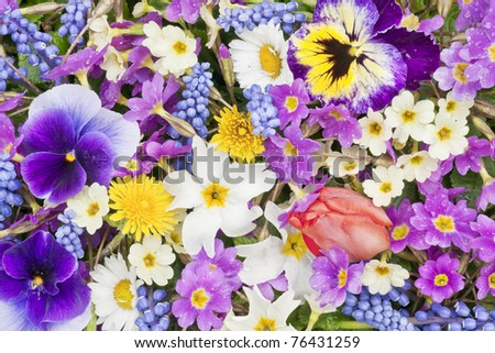 First springs flowers -Muscari, Primroses , Tulip, Daisies, Dandelions, Pansies  after the rain background mix