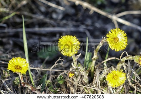 First yellow spring flowers. Floral natural background. Closeup. Flowers looked bright against the background of a gray dry grass.