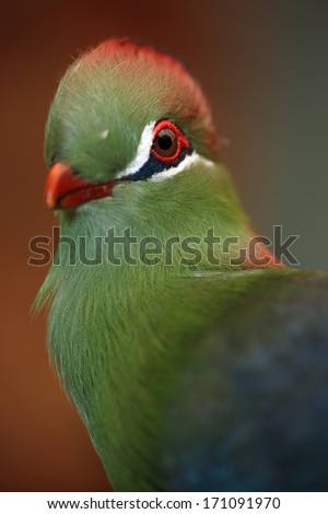 Fischer's Turaco (Tauraco fischeri) is a species of bird in the Musophagidae family. It is found in Kenya, Somalia, and Tanzania. - stock photo