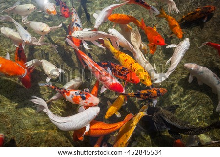 Fish carp in the water pool