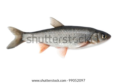 Fish common dace - isolated on white background.