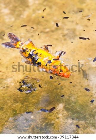 fish dead death - stock photo