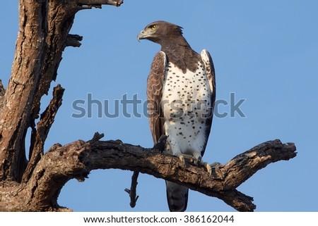 fish eagle at kruger national park - stock photo