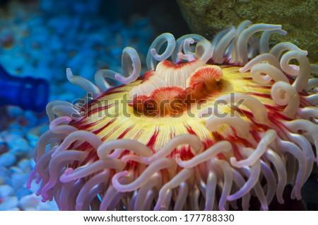 Fish eating anemone - Urticina piscivora clos-up shot - stock photo