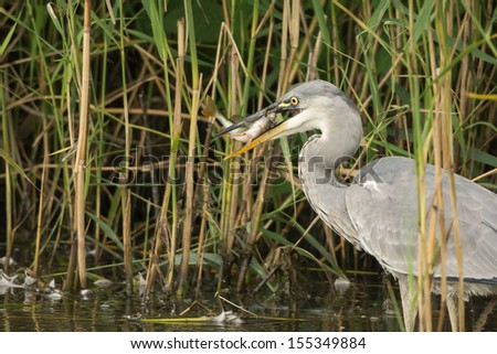 Fish Eating Fish Cartoon Fish Eats a Frog Heron Eats