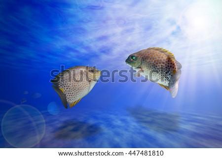 fish feeling swimming/fish breeding/Spinefoots fish under ocean/Golden Spinefoot,Goldlined Rabbitfish, fish breeding Goldlined Spinefoot, Orange-spotted Rabbitfish, - stock photo