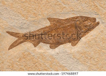 Fish fossil of the Knightia herring genus dating from the Eocene epoch.