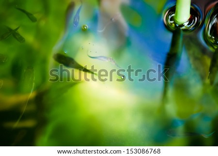 Fish, Guppy, swimming in fresh water with reflection - stock photo