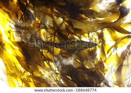 FIsh in a Kelp Forest - stock photo