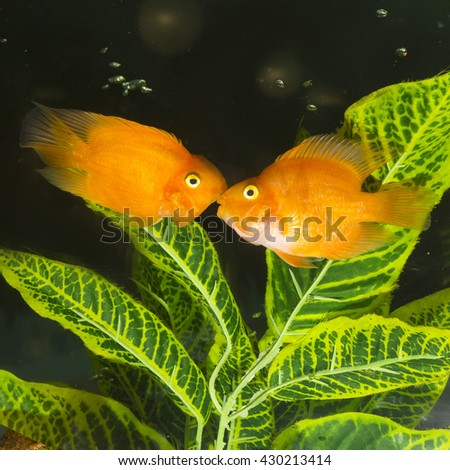 Fish in aquarium. - stock photo