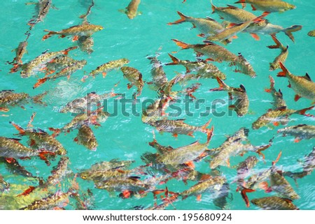 Fish in clear water at natural attractions in Ratchaprapha Dam at Khao Sok National Park, Surat Thani Province, Thailand.