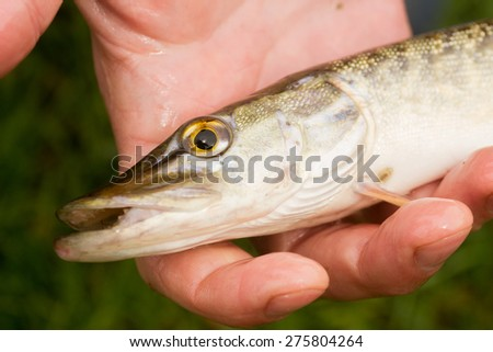 fish in hand - young specimen of pike detail of head - stock photo