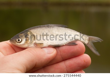 fish in hand - young specimen of silvercarp - stock photo