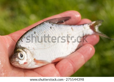 fish in hand - young specimen of white bream - stock photo