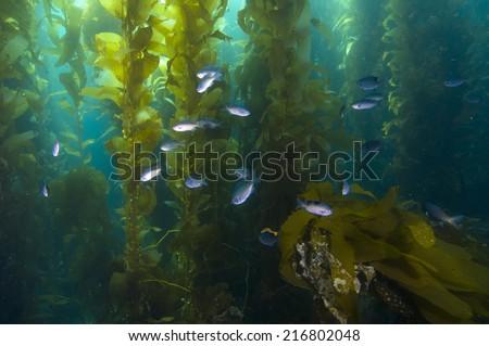 Fish in kelp reef off Catalina Island, CA - stock photo