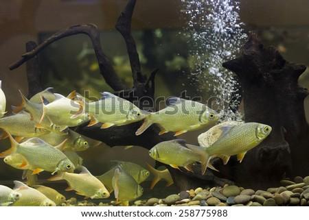 Fish in the aquarium - stock photo