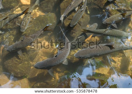 Fish in waterfall Thailand