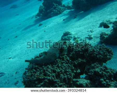 Fish is sitting on the corals. The coral reef. Underwater paradise for scuba diving, freediving. Red sea, Dahab, Egypt. - stock photo