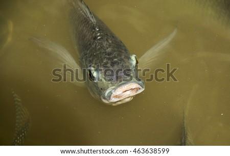 Fish nile tilapia nilotica family cichlidae stock photo for Breath like a fish
