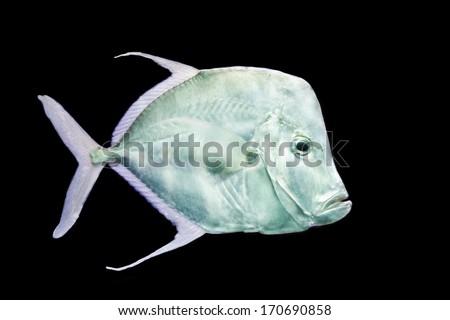 fish on black background Silver Moonfish, Lookdowns-Selene vomer - stock photo
