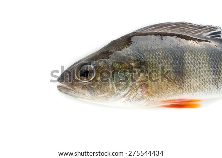 fish on white background - young specimen of european perch