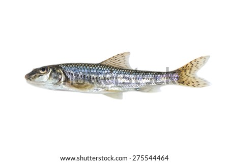 fish on white background - young specimen of gudgeon - stock photo