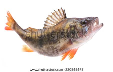 Fish perch - stock photo