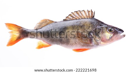 Fish perch - stock photo