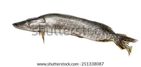 fish pike on a white background