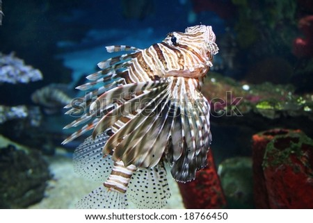 Fish PTEROIS VOLITANS in aquarium, focused on face