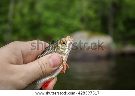 fish roach in the hand of angler at shore