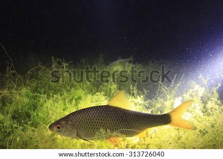 fish, roach, underwater photo - stock photo