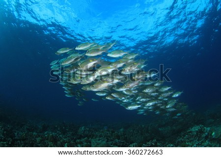 Fish school coral reef: Striped Large-Eye Bream