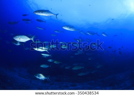 Fish school : Trevallies (jacks), Tuna  and coral reef in sea