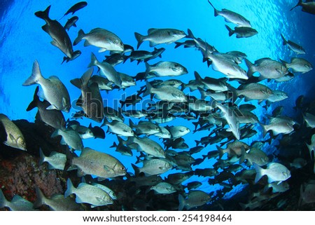 Fish school underwater - stock photo